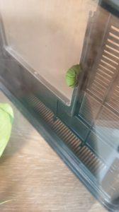 アゲハ蝶のあおむしが糸を張る