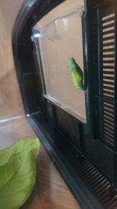 アゲハ蝶の緑色のさなぎ