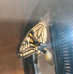 アゲハ蝶が羽化した