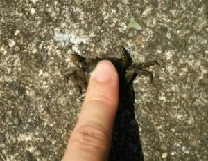 カニを一指し指で押さえる